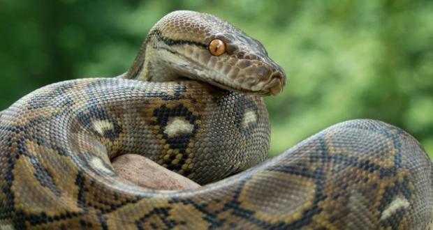 Yılanlar, kurbağa kıtlığı nedeniyle açlıktan ölüyor