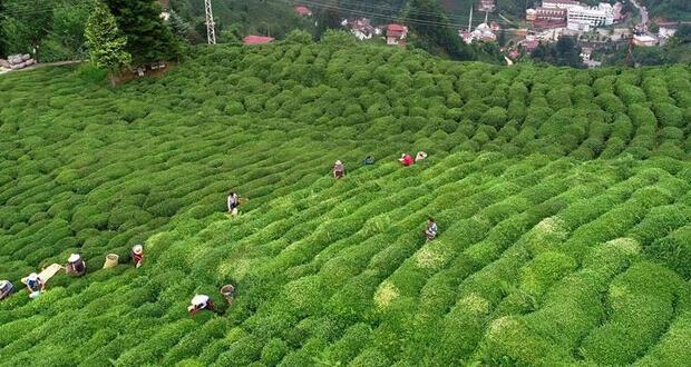 6 ayda çay satışından 7.5 milyon dolar gelir
