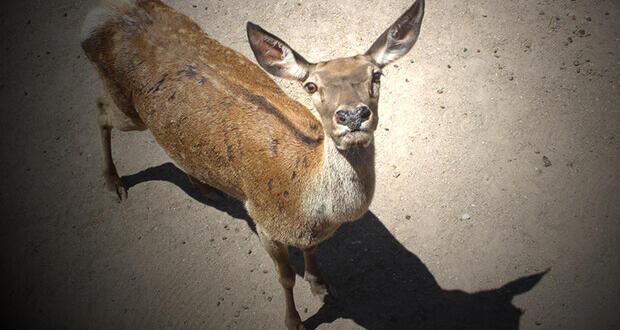 Eskişehir'deki 'kızıl geyik' avı ihalesi ile ilgili flaş gelişme