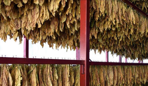 Denizli, tütün üretiminde ilk sırada yer aldı