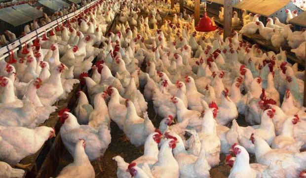 Çin, Türkiye'de üretilen 50 bin ton tavuk ayağının hepsine talip