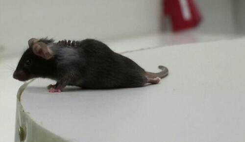 Bilim insanları gen tedavisiyle felçli farelerin yürümesini sağladı