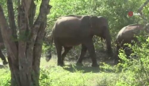 Sri Lankalı yetkililer bu yıl ülke genelinde fil sayımı yapacak