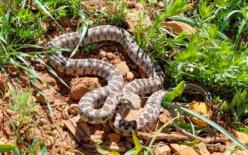 Tunceli'de yarı zehirli Kocabaş yılanı görüntülendi
