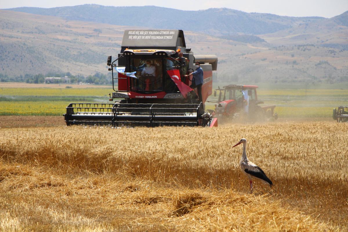 Amasya'da bereketli hasat! Leylekler buğday avında